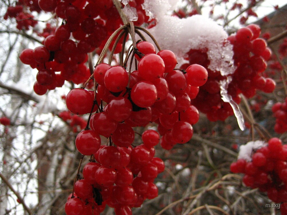 Berries in Snow by maxy
