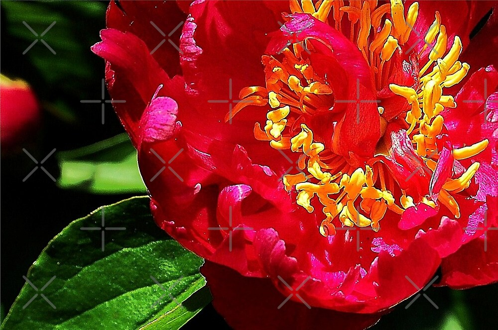 Red peony by loiteke
