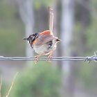 Juvenile Red-backed Fairy Wren by Jenelle  Irvine