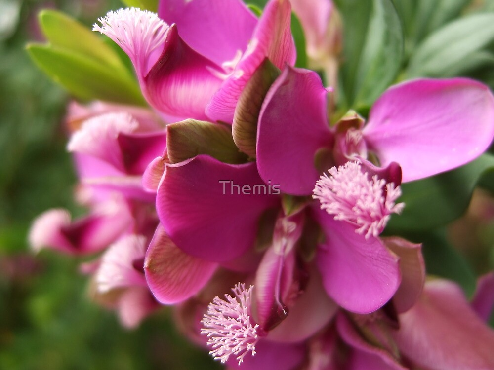 Purple mystery by Themis