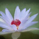 Pond Lily by Viv Thompson