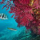 Red gorgonian with fish underwater Mediterranean sea by Dam - www.seaphotoart.com