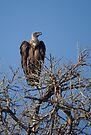 White-backed Vulture by Neville Jones