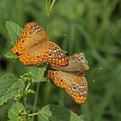 Flirting Butterflies by Robert Abraham