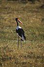 Saddle-billed Stork  by Neville Jones