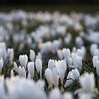 crocuses in the evening sun by codaimages
