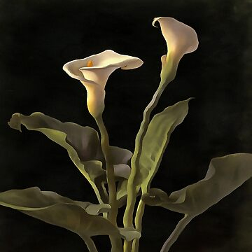 White Calla Lilies On A Black Background by taiche