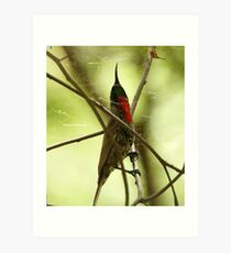 Scarlet Chested Sunbird Art Print