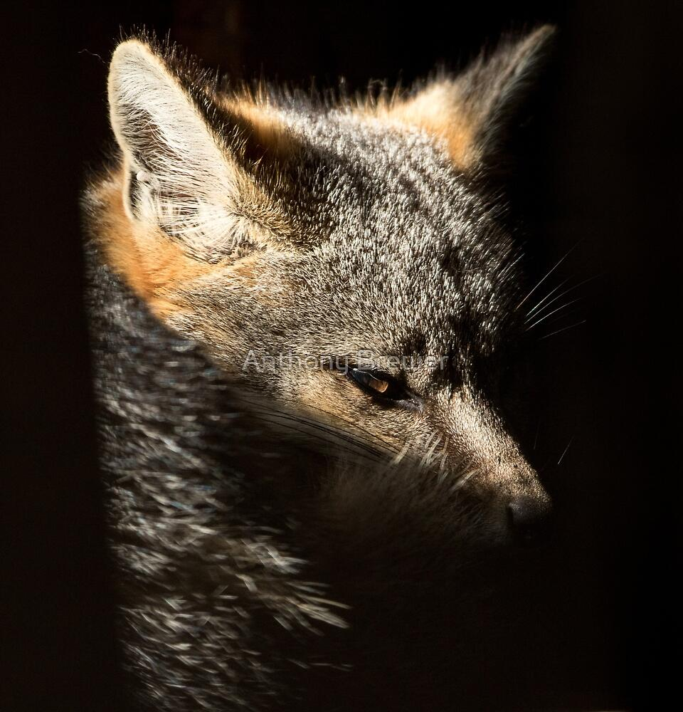 Fox in a sunbeam by Anthony Brewer