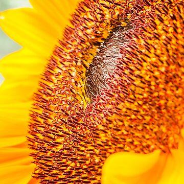 Sunflower head by craig777red