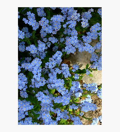 Forget me not. II Photographic Print