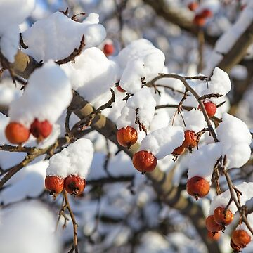 Winter berries covered with snow on a tree by LukeSzczepanski