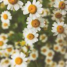 Feverfew flowers... by Catherine MacBride
