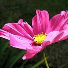 Pink Cosmos by Dean Harkness