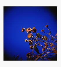 Holga Sunflowers Photographic Print