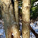 Alder in winter  by TerrillWelch