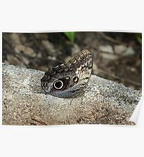 The Giant Owl Butterfly Poster