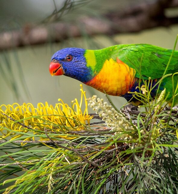 Rainbow Lorikeet with Grevillea by Andrew Goodall