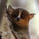 golden-brown mouse lemur by gruntpig