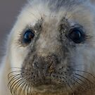 Seal Pup by geoff curtis