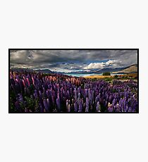 LupinScape Photographic Print
