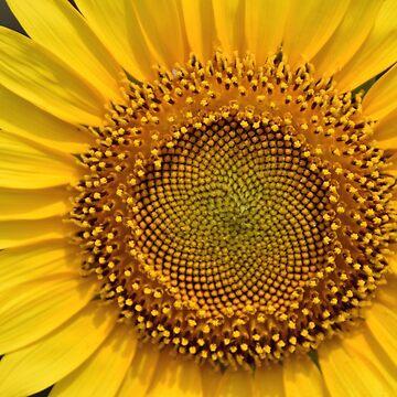 Sunflower by AravindTeki