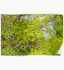 Maple tree blossoms 1 Poster