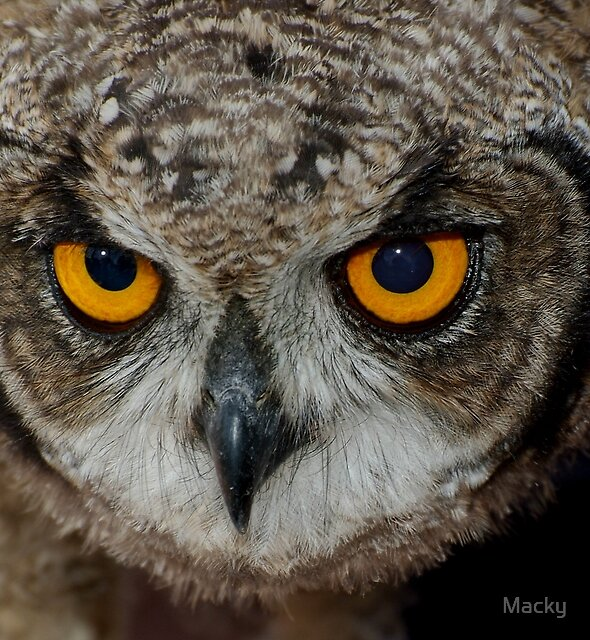 Eagle Owl Chick by Macky