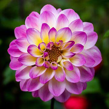 Beautiful Dahlia by widdy170