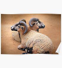 Barbados Rams Poster
