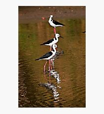 Black-Winged Stilts Photographic Print