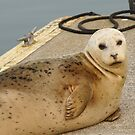 Harbor Seal by Betsy  Seeton