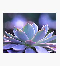 Echeveria Silver Queen Photographic Print