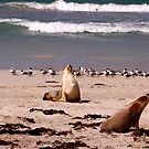 Sea Lions on the Beach by John Wallace