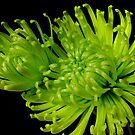 Green Chrysanthemum by Gabrielle  Lees