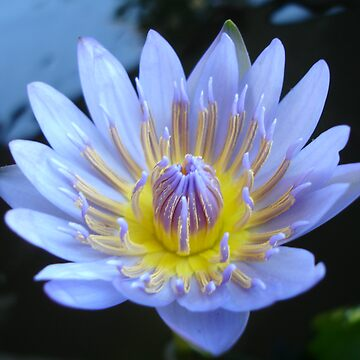 Lotus by Rainy