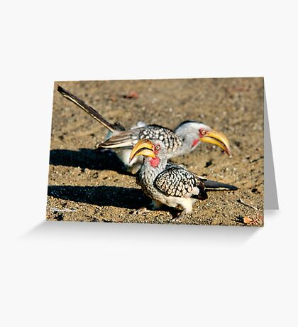 TWO IS COMPANY - Southern Yellow-billed Hornbill - Tockus leucomelos – Geelbekneushoringvoel Greeting Card