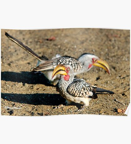 TWO IS COMPANY - Southern Yellow-billed Hornbill - Tockus leucomelos – Geelbekneushoringvoel Poster