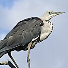 White-necked (pacific) Heron by Rick Playle