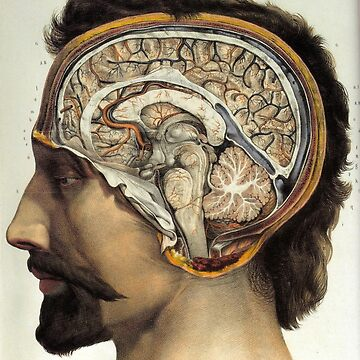 Look Inside My Brain Anatomical Brain by Zehda