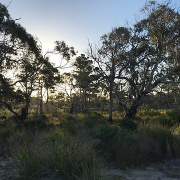 Winter afternoon sun through the eucalypts by GreenNote