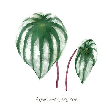 Peperomia Argyreia (Watermelon Peperomia) - [Indoor Plant Love] by xJLe