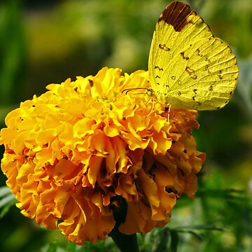 Yellow butterfly, Yellow flower by adng