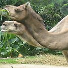 Two headed camel...? by ellismorleyphto