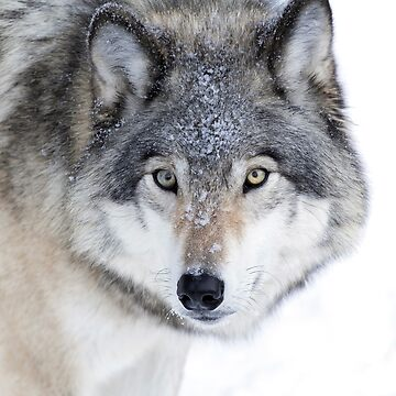 Timber Wolf by darby8