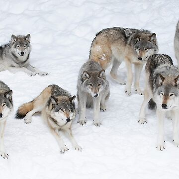 Wolf Pack by darby8