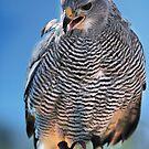 Grey Hawk by Barbara Manis