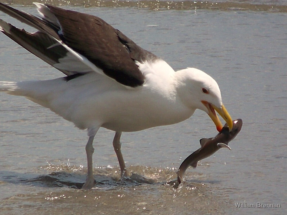A Great Black-Backed Gull nabbing a baby sand shark. by William Brennan