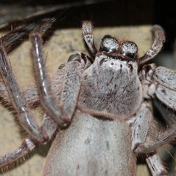 Huge Huntsman Spider by jaxfae
