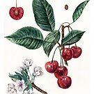 Kirsche botanische Kunst von AnnaShell